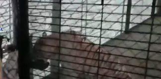 El tigre albino era mantenido enjaulado. Foto: Captura de Video.