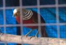 Un faisal dorado fue rescatado de la casa de Cronembol. Captura de Pantalla.